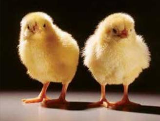 Manejo de pollito
